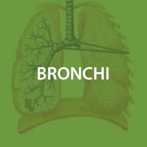 mwz-bronchi.png