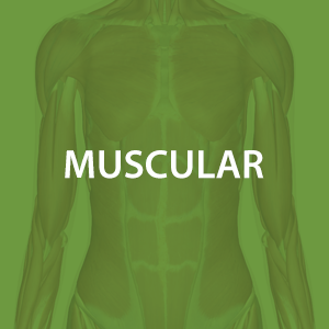 mwz-muscular.png